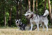 picture of dry grass  - Puppy of Siberian Husky plays with adult Husky - JPG