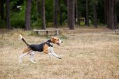 picture of dry grass  - Beagle runs through the field - JPG