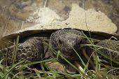 stock photo of gopher  - A close up of a Gopher Tortoise - JPG
