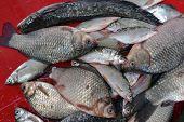pic of freshwater fish  - After a fishing trip on the Danube here are the results. Freshwater fish: catfish (Silurus glanis), Caras (Carassius auratus gibelio), Rudd (Scardinius erythrorhtalmus), bream (Abramis brama), bleak (Alburus alburus), roach (Rutilus rutilus) ** Note: Vis - JPG