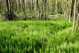 pic of horsetail  - Forest with Horsetail in De Horsten estate in Wassenaar Netherlands - JPG