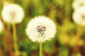 stock photo of dandelion seed  - Beautiful dandelions with seeds - JPG