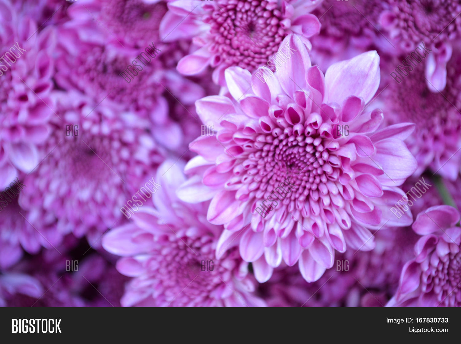 These Are Pink Flowers Called Chrysanthemum Or Florist S Mun Mums And A Sacred