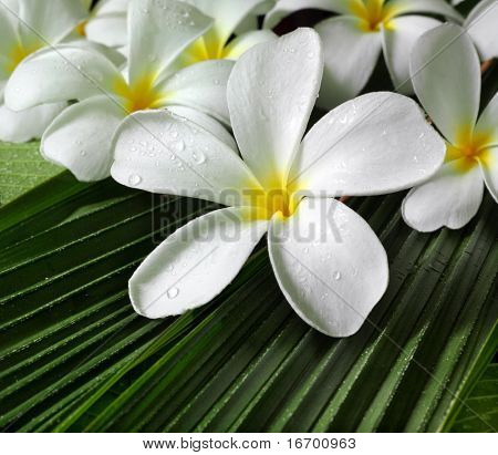 plumeria flowers closeup on green leaves