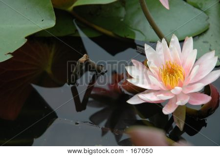 Pink Water Lily In Love