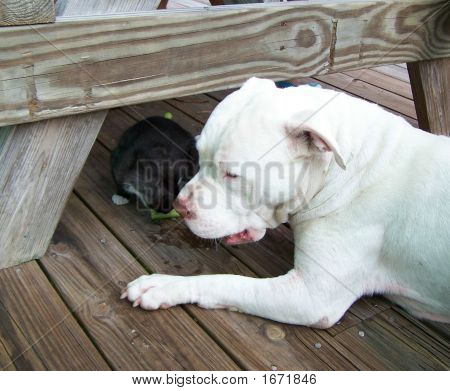 Milo  The Kitten And Tank The Pitbull