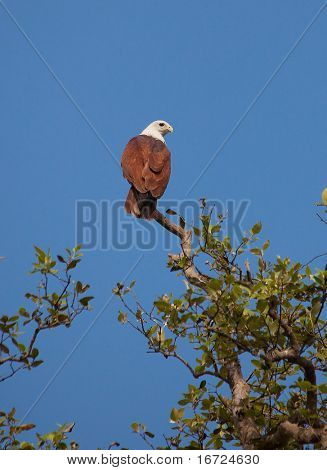 Brahminy Kite (Haliastur indus), also known as the Red-backed Sea-eagle on the top of tree photo