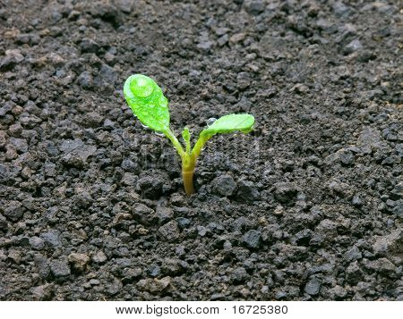 Young sprout on the ground.