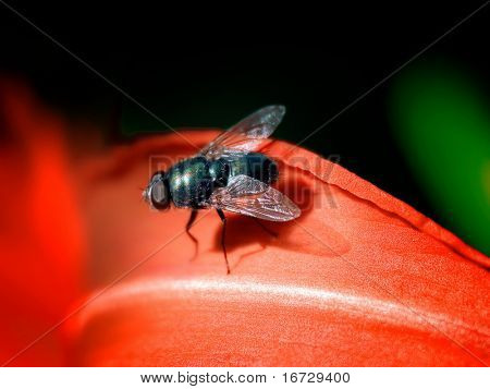 Black fly on red flower.