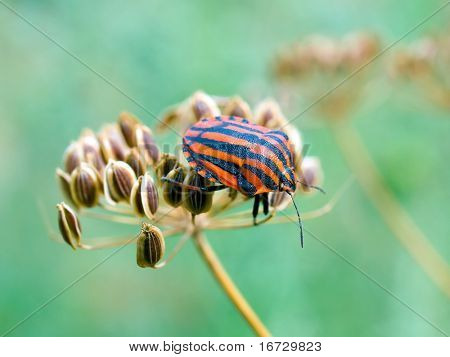 Chinch (Graphosoma lineatum).