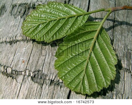 leaf of hazel