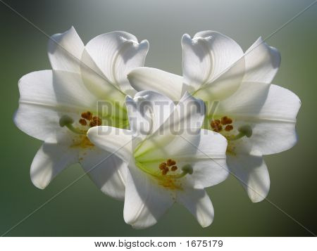 White Easter Lillies On Soft Blurred Background