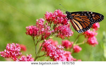 Monarch Butterfly (Danaus Plexippus) On Pink Flowers