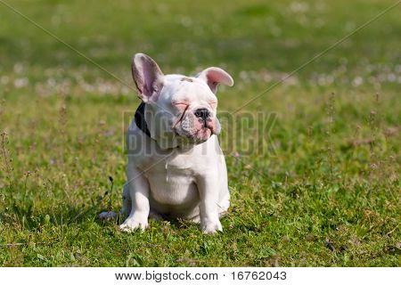 Cute French Bulldog Puppy Relaxing