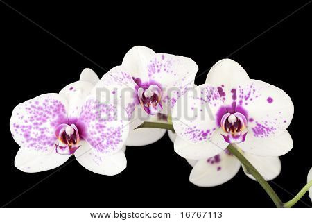 Three White And Purple Orchid Flowers On Black