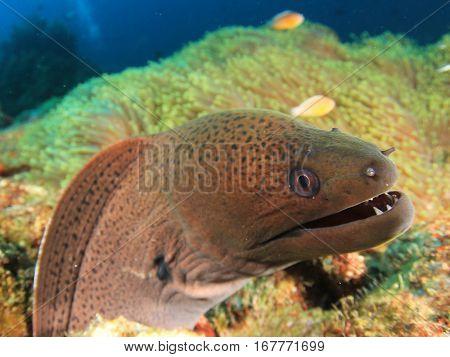 Giant Moray Eel fish portrait