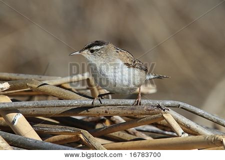 Marsh Wren On A Reed