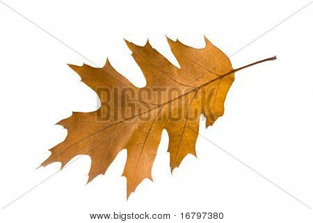 oak leaf, clipping path