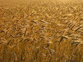 picture of gleaning  - Wheat - JPG