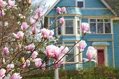 picture of saucer magnolia  - A saucer magnolia with a complimentary teal colored house in the background - JPG