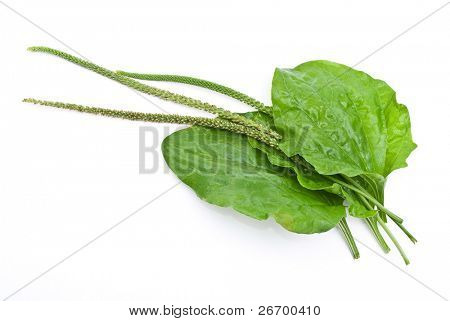 Herbal medicine:Plantain leafs