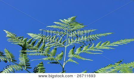 single fresh green fern leaf against the blue sky