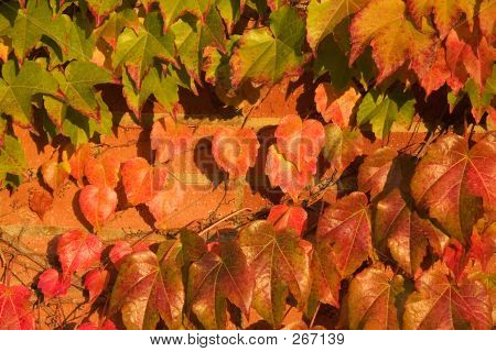 Autumn Ivy Leaves On Brick Wall