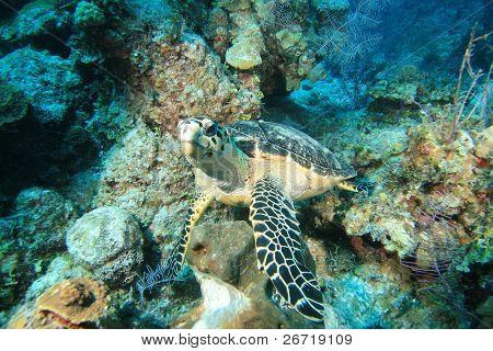 Hawksbill Turtle Eretmochelys imbricata eating sponge