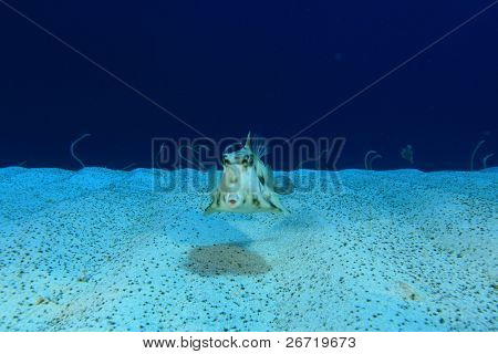 Thornback Trunkfish (also known as Pyramid Boxfish) with Garden Eels in the Background