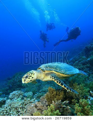 Turtle with divers silhouetted in background