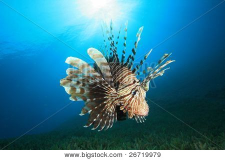 Big Male Lionfish