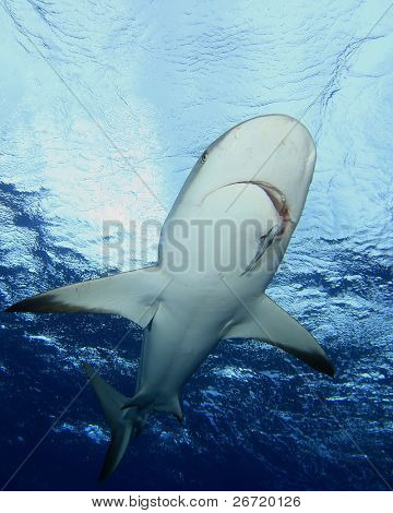 Shark against the water surface