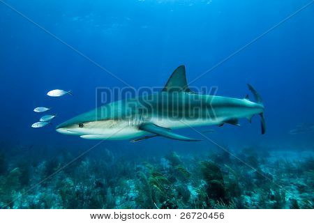 Caribbean Reef Shark (Carcharhinus perezii) and Pilot Jacks
