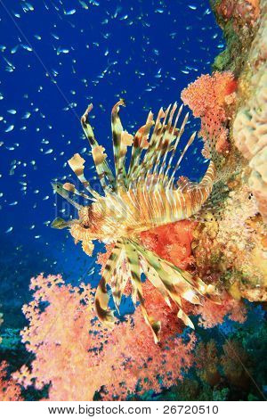 Lionfish (Pterois miles) looks out from behind red soft coral with glassfish in background
