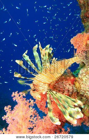 Lionfish and Glassfish