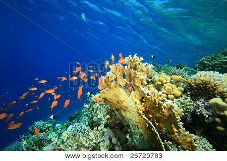 Shallow coral reef and tropical fish