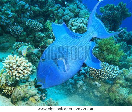Blue Triggerfish eats a Sea Urchin