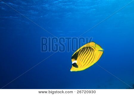 Red Sea Raccoon Butterflyfish (Chaetodon fasciatus)
