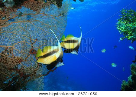 Pair of Red Sea Bannerfish with Gorgonian Fan Coral in Background