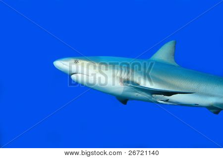 Caribbean Reef Shark (Carcharhinus perezii) on blue background