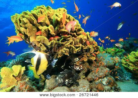 Leaf Coral and Bannerfish,Lionfish,Grouper and Anthias