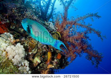 Red Sea Steepheaded Parrotfish and Coral Reef