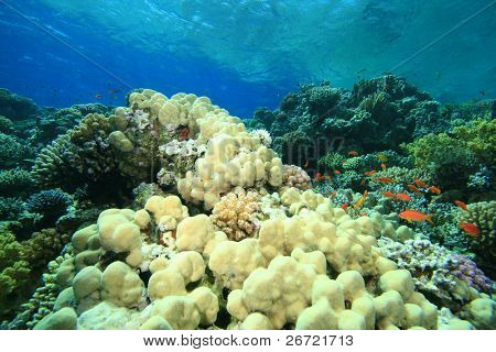 Mountain Coral (Porites lutea) and Reef