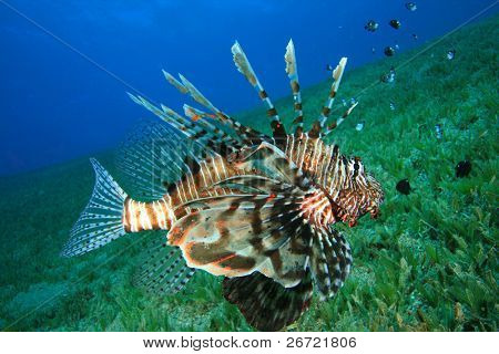 Lionfish hunts for Damselfish