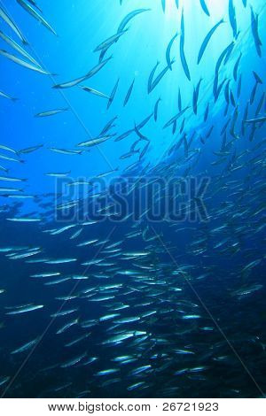 Shoal of Yellowtail Barracuda (Sphryaena flavicauda)