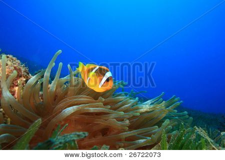Red Sea Anemonefish (Amphiprion bicinctus) in Bubble Anemone