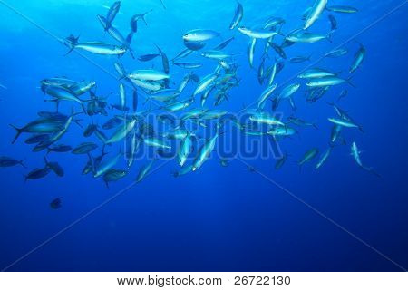Shoal of Red Sea Fusiliers