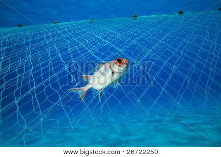A squirrelfish is caught in an illegal poacher's gill net