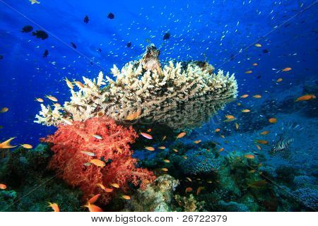 Lionfish perched on top of coral