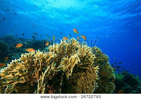Fire Corals on a shallow reef in the Red Sea
